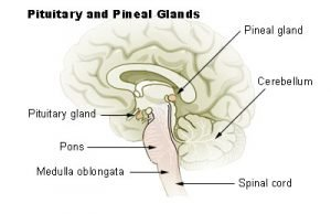 The location of the pineal gland in the brain.